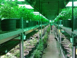 A Weed farm in Colorado