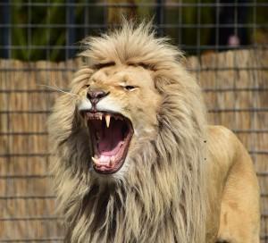 lion-721836_1280