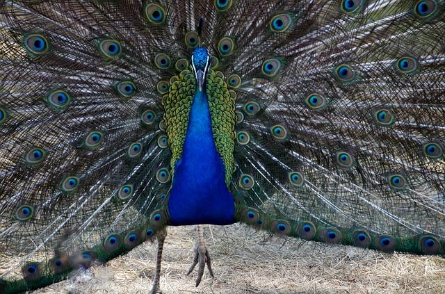 peacock-815130_640
