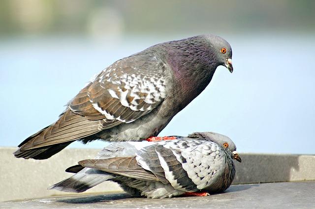 pigeons-226527_640
